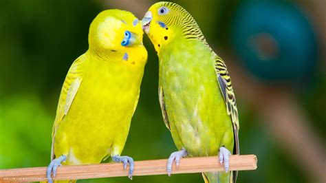 picture of love bird wallpaper hd wide birds pics litle pups 55 cute love bird colorful parrot hd wallpapers download