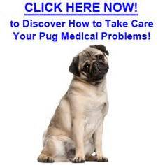 pug common health problems 1000 images about pug problems on pug behavior and a pug