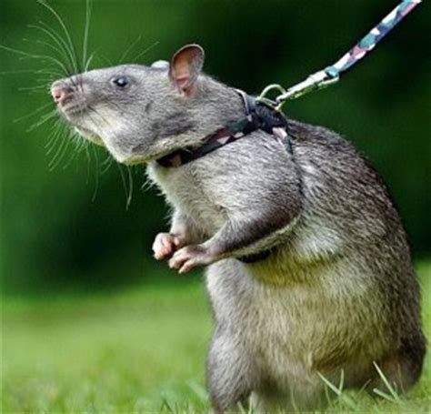 Membuat Perangkap Tikus Sendiri | cara ampuh membuat perangkap tikus sendiri info natnet