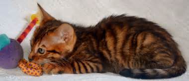 Years ago for sale cats toyger brandon