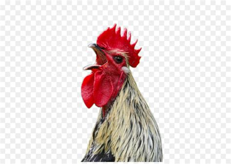 marshal reuben  cogburn chicken rooster screaming cock