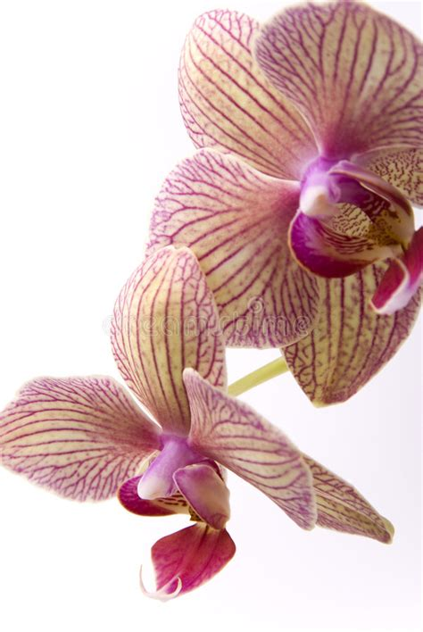 orchidea foto fiore orchidea immagine stock immagine di orchid fiore