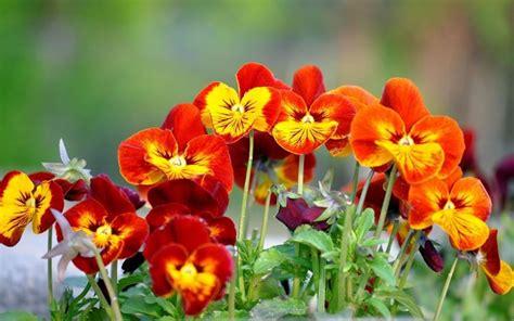 mammola fiore fiore viola piante annuali come prendersi cura della viola