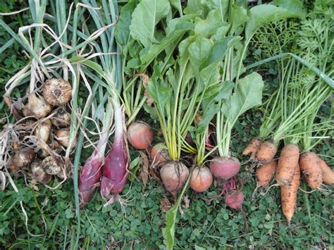 Root Vegetable Garden Omg The Veggie Harvest Is Totes Ridix Gradually Greener