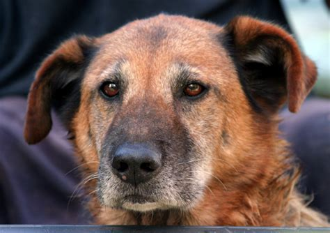 cognitive dysfunction in dogs canine cognitive dysfunction dogslife breeds magazine