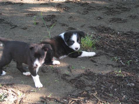 mcnab puppies mcnab puppies photo and wallpaper beautiful mcnab puppies pictures