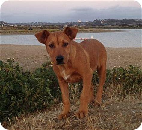 rhodesian ridgeback golden retriever mix lena me play adopted puppy lena rhodesianmix san diego ca