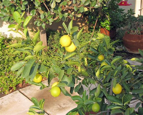 backyard lemon tree a spoonful of thyme backyard citrus