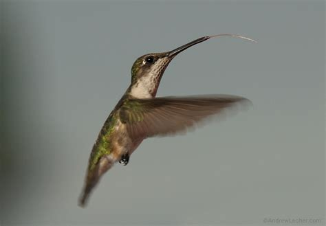 images by andrew lecher 187 hummingbirds have arrived to n