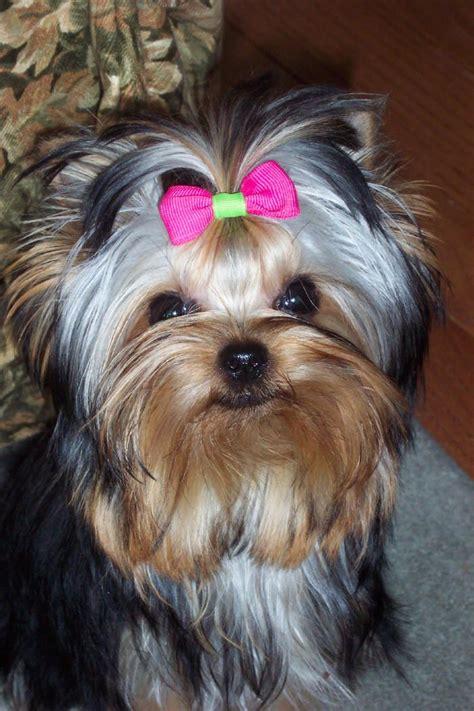 yorkie website 25 best ideas about terriers on