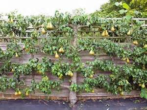 Trellis For Potted Plants Fruit Trees In Winter In Melbourne Pruning Planting And
