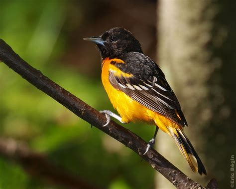 the female oriole weaves a nest birdnote