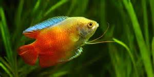most colorful freshwater fish pics for gt most colorful freshwater fish aquarium