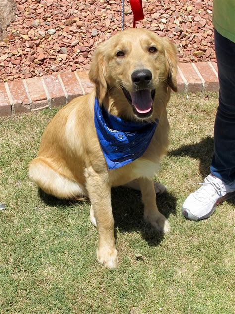 golden retriever puppies el paso golden retriever rescue of el paso rescuing stray abandoned or released golden