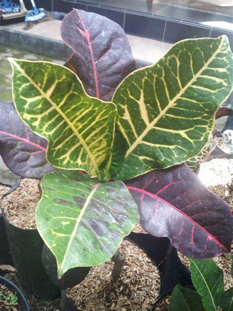 Bibit Tanaman Puring Oscar tanaman bunga puring kurasi anget anget