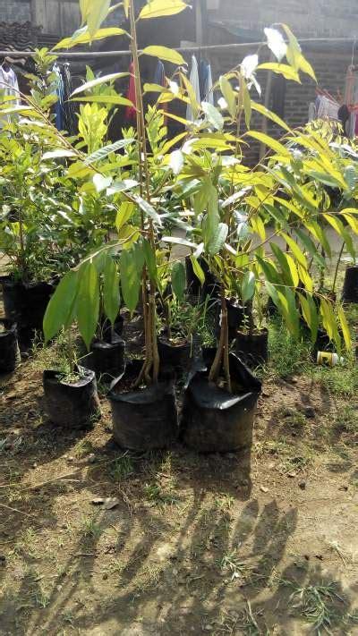 Bibit Durian Musang King Kaki Empat tanaman durian musang king kaki 4 100 cm jualbenihmurah