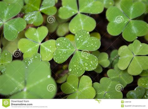 three leaf clover plant three leaf clover stock photo image of plant lucky 5489128