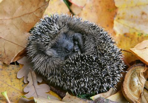 wann gehen igel in den winterschlaf igel im winter pin igel im winter on