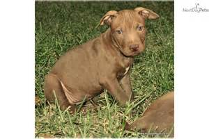 American pit bull terrier puppy for sale for 800 chocolate red nose