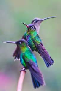 hummingbird colors hummingbirds color purple
