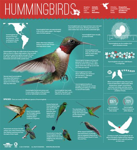 hummingbirds magic in the air infographic all about