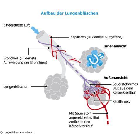 Beschriftung Lunge by Aufbau Der Lunge