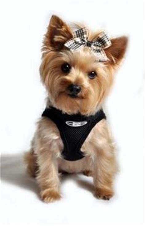do yorkies human hair 1000 images about yorkie grooming on yorkie terrier and belly