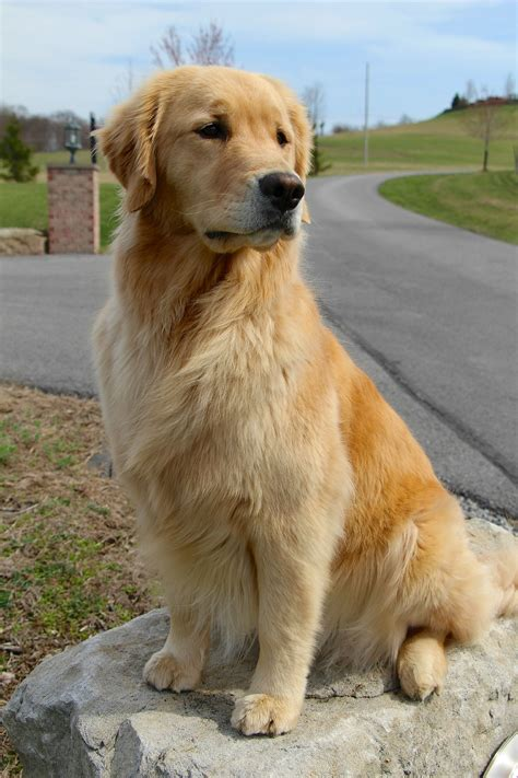 va golden retriever picture 4 of 12 golden retriever rescue virginia best of golden retriever dogs