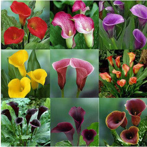 colorful calla lily seed rare plants flowers seeds not calla lily bulbs 20 seeds promotions