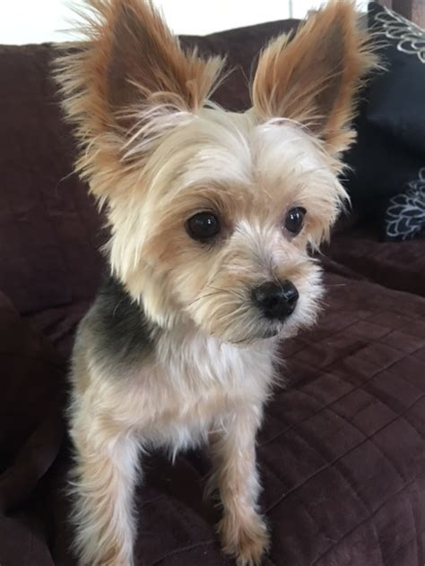 yorkie rescue ma terrier pictures facts and user reviews