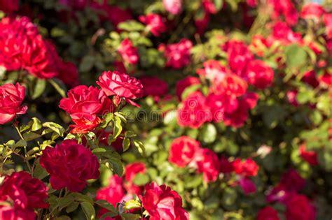 un jardin de rosas rojas arbusto hermoso de rosas rojas en un jard 237 n de la