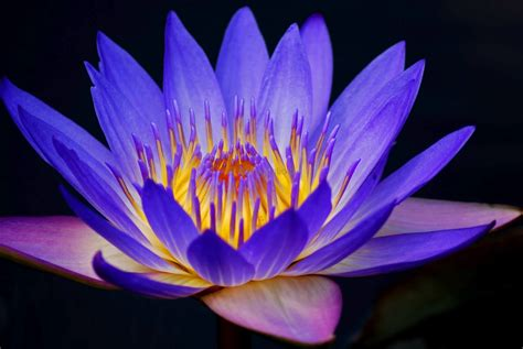 amazing water lily flower