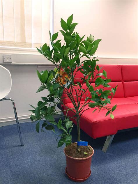 piante frutto in vaso fresco alberi da frutto in vaso foto folusawall