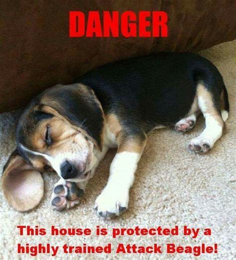 Beagle Meme - 25 best ideas about beagles on pinterest beagle puppy