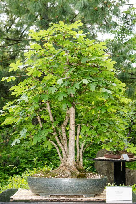 platz  beliebtester outdoor bonsai feld ahorn