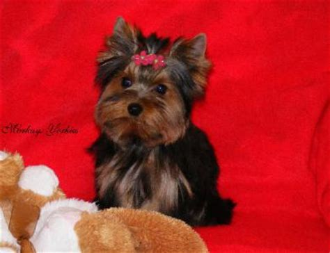 yorkies for sale mn puppy obedience terrier for sale mn