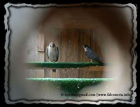 falco pellegrino alimentazione riproduzione falco pellegrino