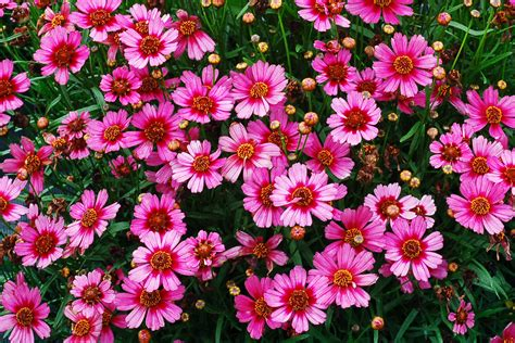 Pink Flower Garden Paint Your Garden With Pink Flowers Sunset