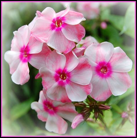flower images phlox flowers pictures meanings purple white phlox