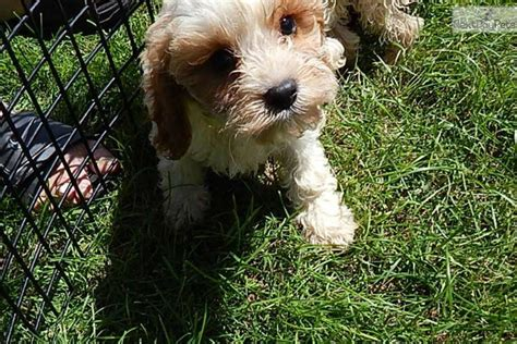cavapoo puppies for sale in indiana cavapoo puppy for sale near south bend michiana indiana 5b29a14a 5ca1