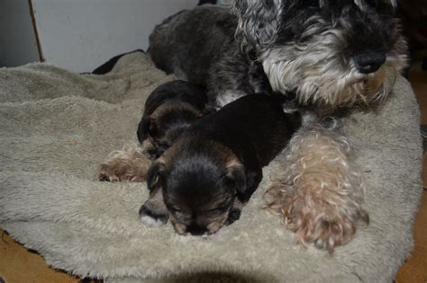 schnauzer puppies for sale in mini schnauzer puppies for adoption breeds picture
