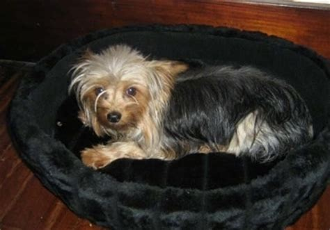 raising yorkie puppies whelping and raising puppies terrier bea stay with your dam
