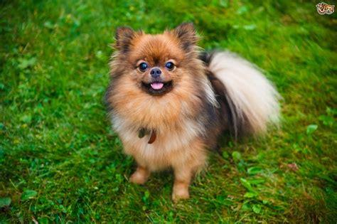 Health, longevity and care of the Pomeranian dog   Pets4Homes