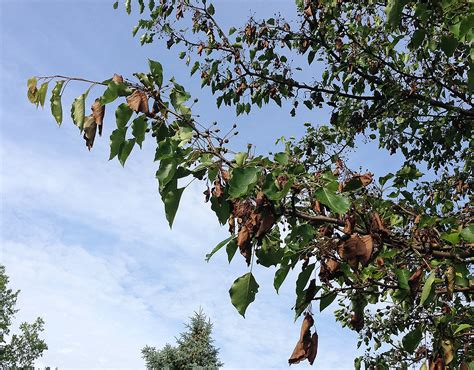 tree problems deadly blight in flowering pear trees still a problem