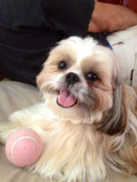 shih tzu play 21 reasons shih tzus are actually the worst dogs to live with