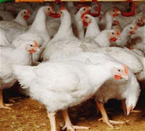 layout rumah potong ayam bentuk kandang kelinci yang baik dan sehat cara ternak