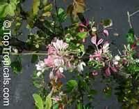 pithecellobium dulce pithecellobium guatemalensis sweet