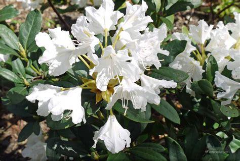 Rhododendron Giftig by Beukenhaag Giftig Potplanten Buiten Schaduw