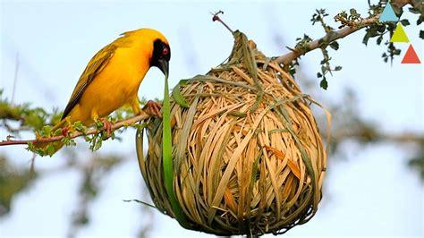imagenes del animal weta los nidos m 225 s asombrosos del mundo animal youtube