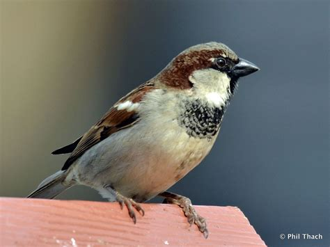 house sparrows house sparrow phil thach